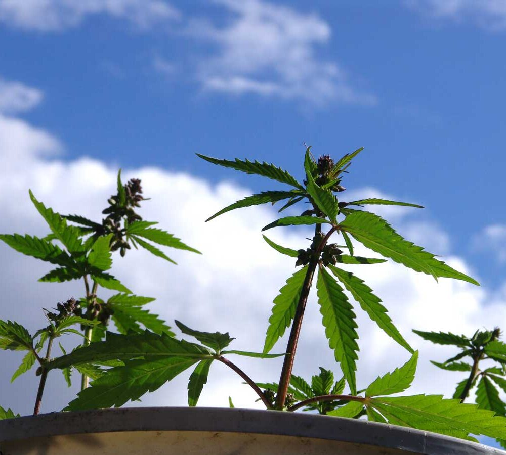male-cannabis-plants-outdoors.jpg