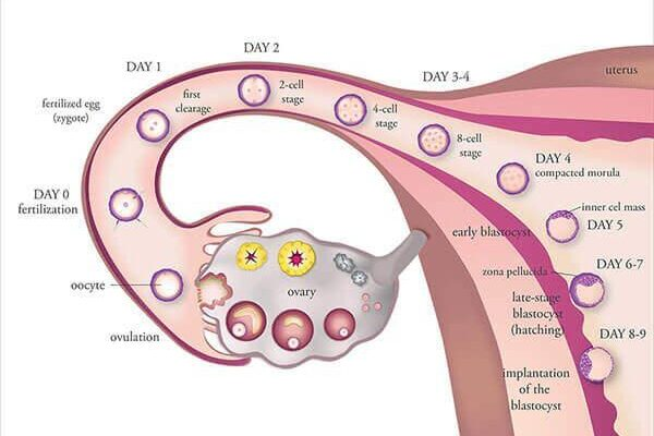 5 Factors That Might Affect Ovarian Induction